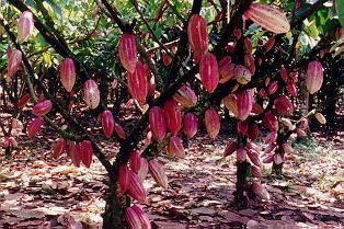 100% Organically Grown Cocoa Trees