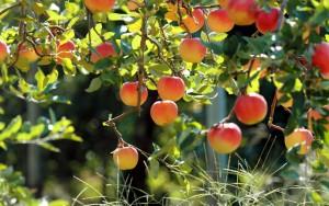 grapes-trees-pics-wallpaper